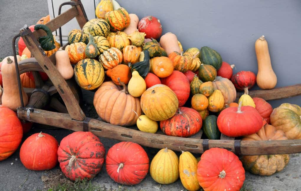 krübis selection of different types of squash on a wheelbarrow