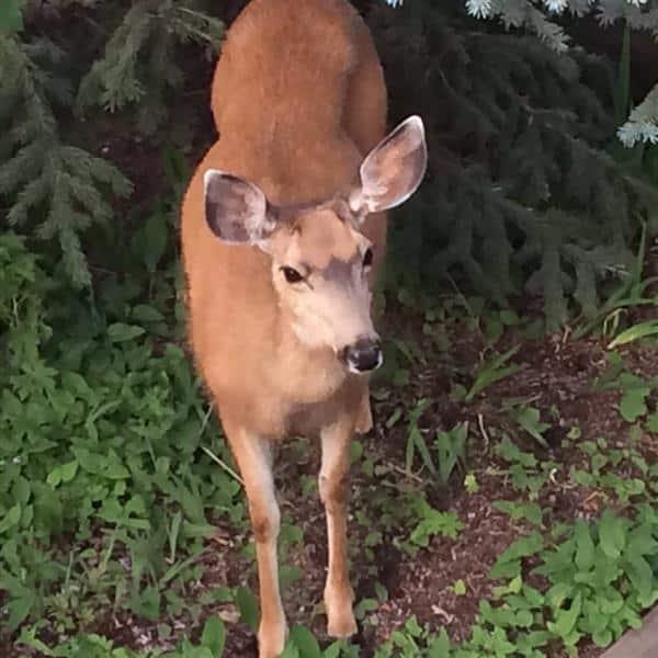 Deer (Custom)