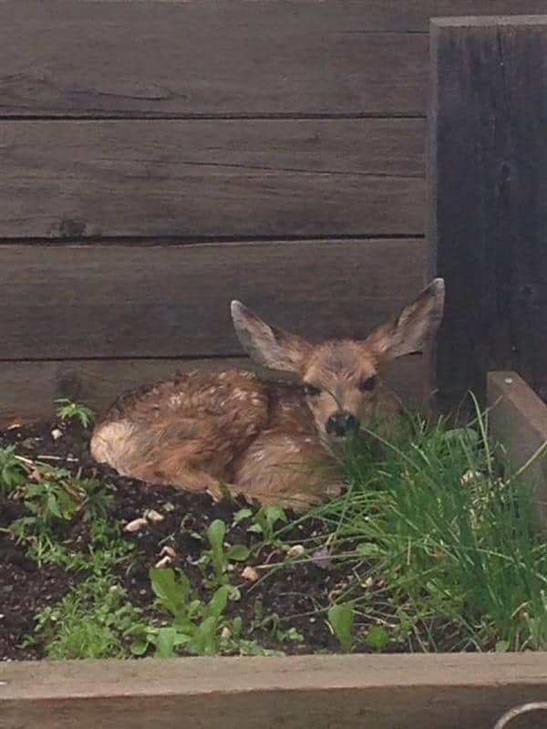 Fawn in my vegetable patch