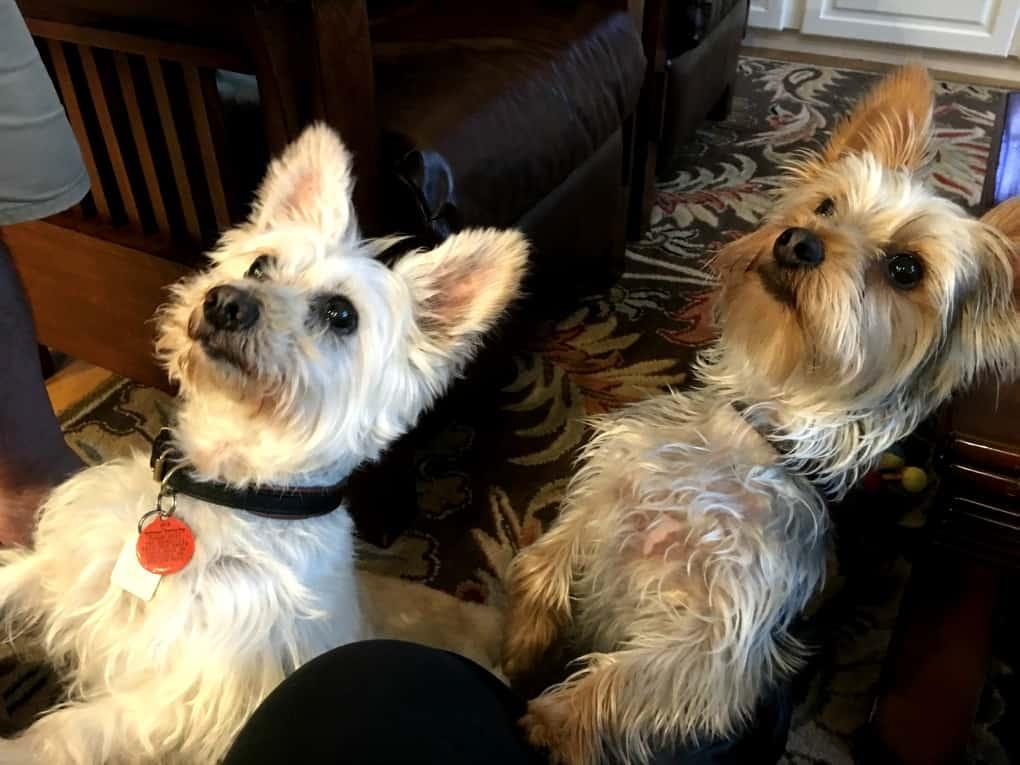Lola and Ziggy awaiting treats from Rayne's
