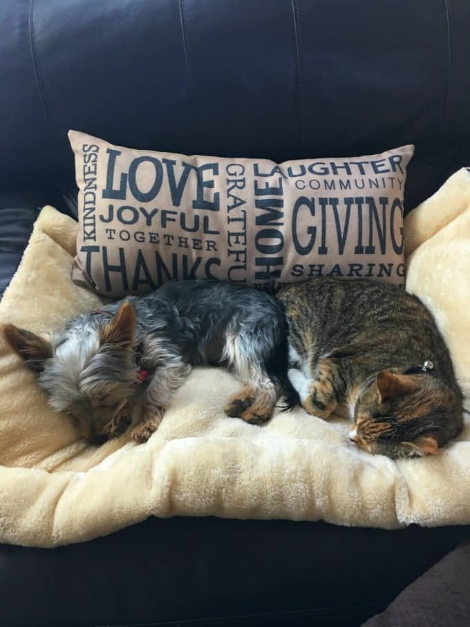 Ziggy and Pumpkin sleeping together on a chair