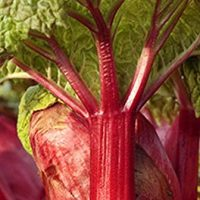 Rhubarb - Crimson Red - Rheum rhabarbarum - Established Roots - Quart Potted - 3 Plants by Growers Solution