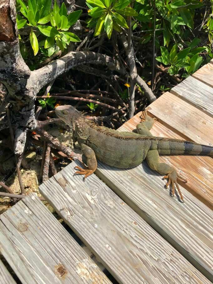 Iguana on the dock