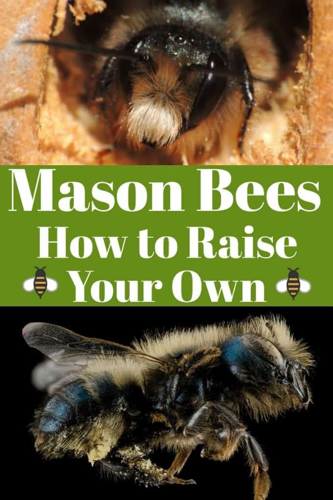 Mason Bees - How to Raise Your Own will help you with this fun hobby that helps our environment at the same time!! #masonbees #howtoraisebees