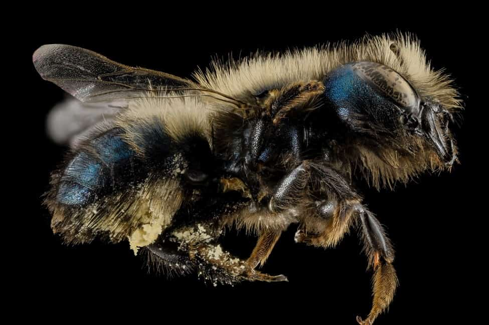 Close up of a mason bee with pollen