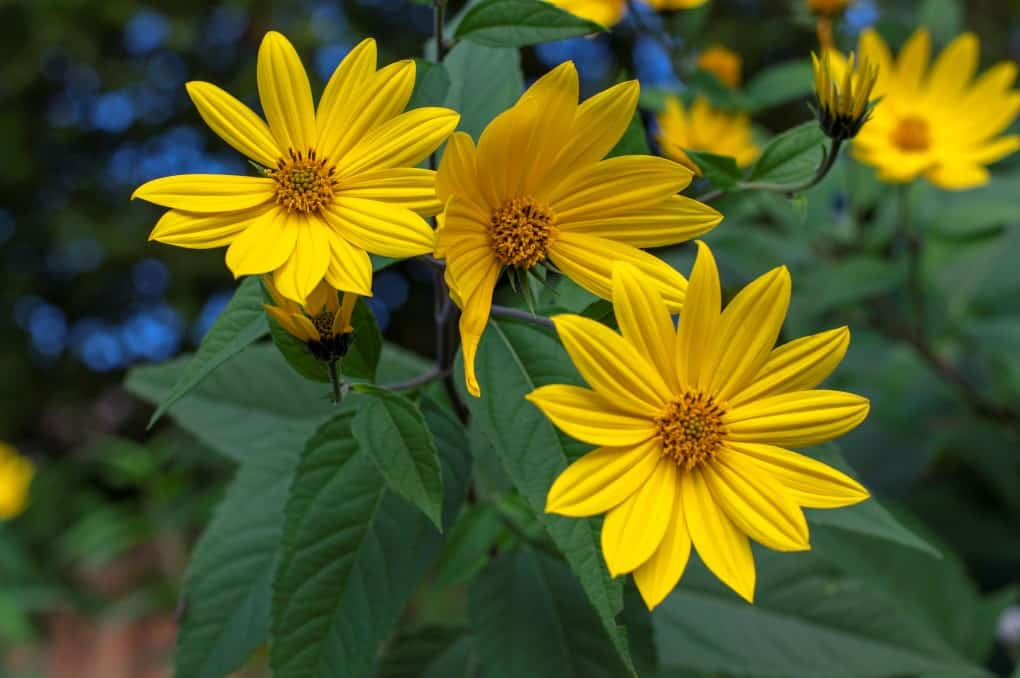Helianthus tuberosus ornamental edible plant in bloom, yellow flowering flowers and green leaves