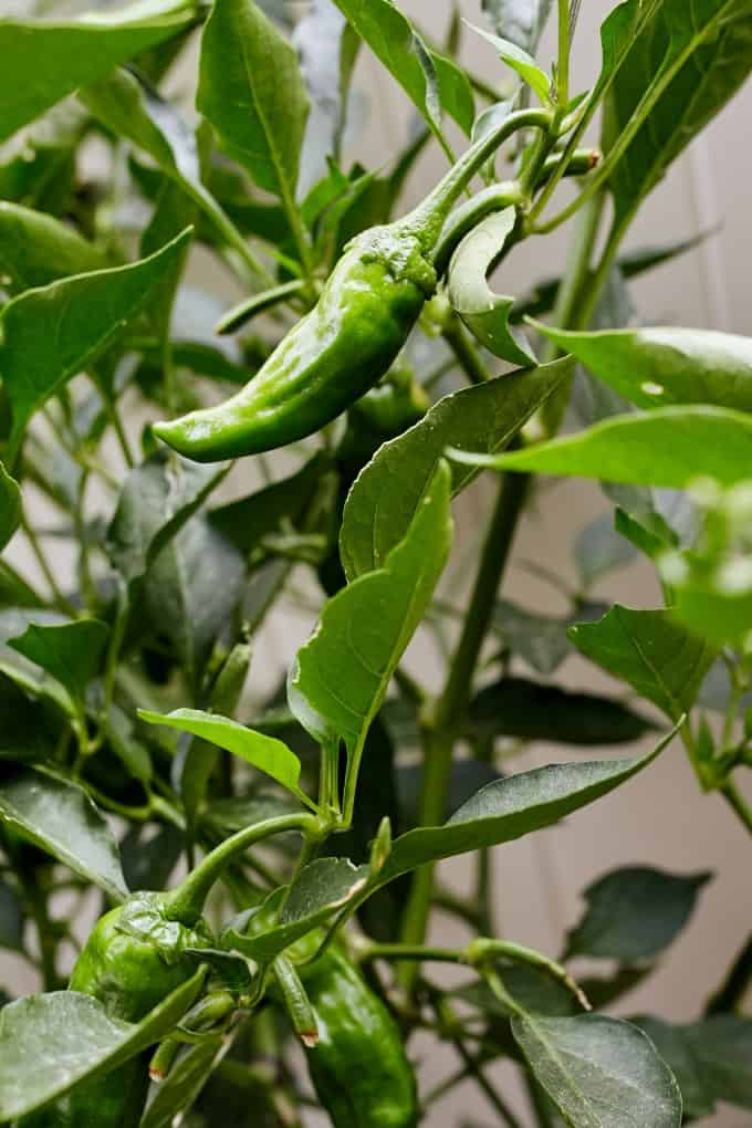 Shishito peppers growing on a bush