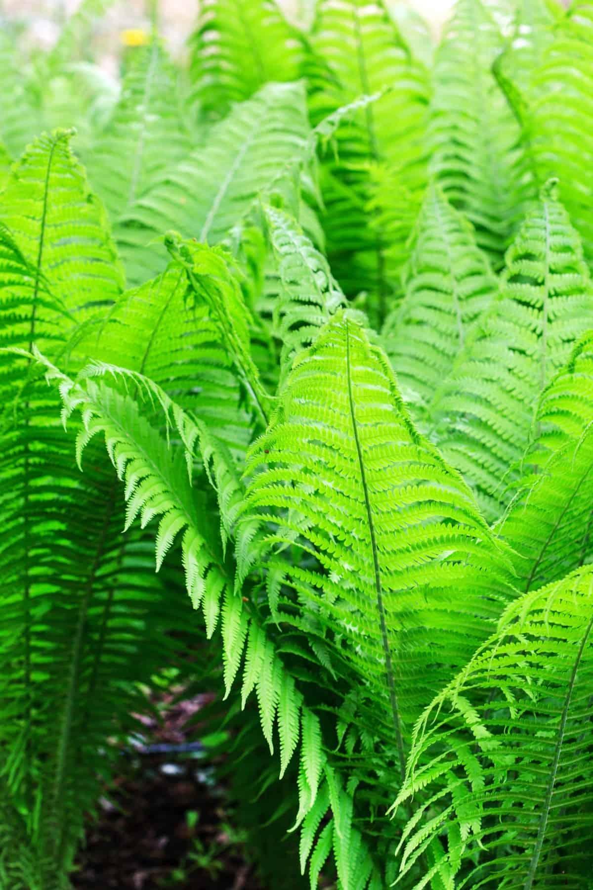 Ferns growing