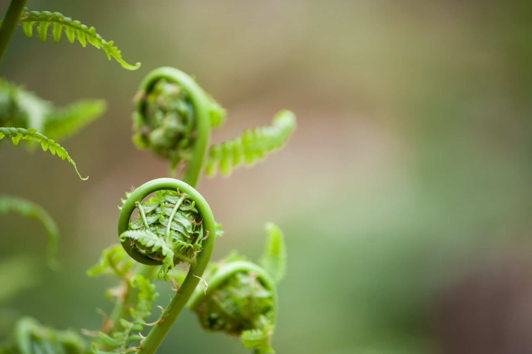 Close up on young spring ferns, also known as fiddleheads as they unfurl. Shallow depth of field  against a soft bokeh