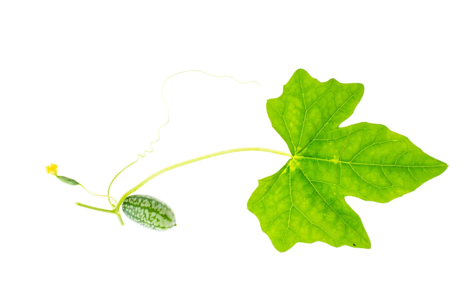 Melothria scabra, mouse melon sweet delicious vegetable, mexican fruit, plant leaves. Studio Photo