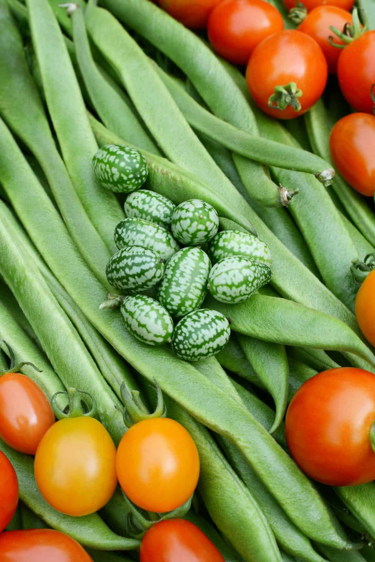 Green cucamelons and red tomatoes on a bed of long runner beans