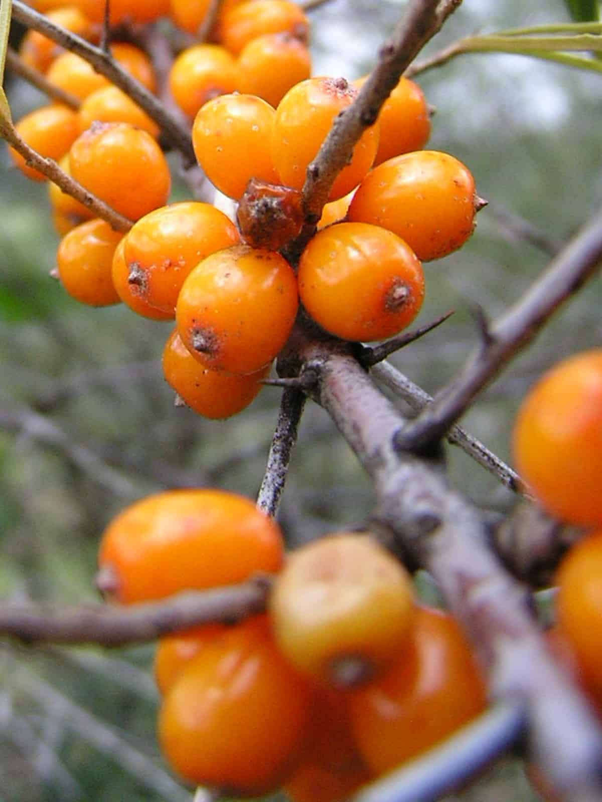 Persimmons on a tree branch